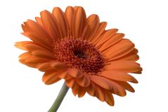 λουλούδι που απομονώνεται Στοκ Εικόνα