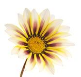 Λουλούδι που απομονώνεται Στοκ φωτογραφίες με δικαίωμα ελεύθερης χρήσης