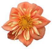 λουλούδι που απομονών&epsilo Στοκ εικόνα με δικαίωμα ελεύθερης χρήσης