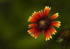 λουλούδι που σχίζεται Στοκ εικόνες με δικαίωμα ελεύθερης χρήσης