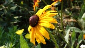 Λουλούδι που ταλαντεύεται στον αέρα - ηλίανθος Helianthus διακοσμητικό απόθεμα βίντεο