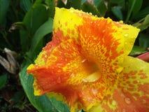 Λουλούδι πυρκαγιάς ήλιων στοκ φωτογραφίες