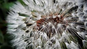 Λουλούδι ρολογιών πικραλίδων στη μακρο φωτογραφία - στο θερινό κήπο Στοκ Εικόνες