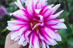 Λουλούδι σε ετοιμότητα και το πράσινο υπόβαθρό μου στοκ φωτογραφία