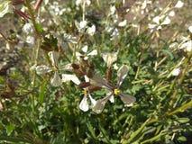 Λουλούδι σε Calblanque Στοκ εικόνες με δικαίωμα ελεύθερης χρήσης