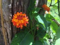 Λουλούδι σε Vinales Κούβα στοκ εικόνα με δικαίωμα ελεύθερης χρήσης