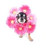λουλούδι σκυλιών Στοκ φωτογραφία με δικαίωμα ελεύθερης χρήσης