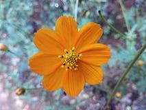 Λουλούδι Σρι Λάνκα Atapethiya Στοκ φωτογραφία με δικαίωμα ελεύθερης χρήσης