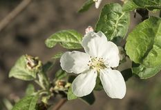 Λουλούδι στα δέντρα aple στο πράσινο φύλλο υποβάθρου Στοκ φωτογραφία με δικαίωμα ελεύθερης χρήσης