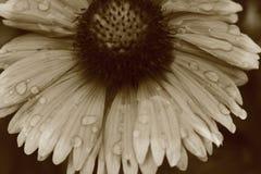 Λουλούδι στην ομορφιά του που καλύπτεται από τις πτώσεις βροχής Στοκ Εικόνες
