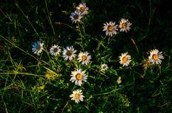 Λουλούδι στην παχιά ομίχλη πρωινού μαργαρίτα που καλύπτεται με τη δροσιά πρωινού στοκ εικόνες με δικαίωμα ελεύθερης χρήσης