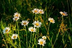 Λουλούδι στην παχιά ομίχλη πρωινού μαργαρίτα που καλύπτεται με τη δροσιά πρωινού στοκ εικόνα με δικαίωμα ελεύθερης χρήσης