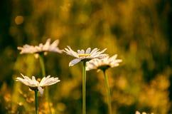 Λουλούδι στην παχιά ομίχλη πρωινού μαργαρίτα που καλύπτεται με τη δροσιά πρωινού στοκ φωτογραφία
