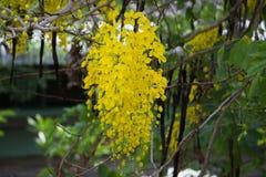 Λουλούδι συριγγίων της Cassia στην Ταϊλάνδη στοκ εικόνες με δικαίωμα ελεύθερης χρήσης