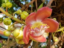 Λουλούδι σφαιρών πυροβόλων στοκ φωτογραφία με δικαίωμα ελεύθερης χρήσης