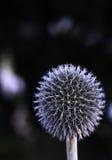 λουλούδι σφαιρών Στοκ Φωτογραφίες