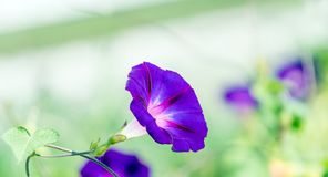 Λουλούδι της δόξας πρωινού Στοκ φωτογραφία με δικαίωμα ελεύθερης χρήσης