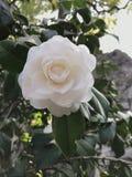 Λουλούδι της Κίνας στοκ φωτογραφίες