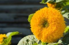 Λουλούδι της κινηματογράφησης σε πρώτο πλάνο ηλίανθων Στοκ Φωτογραφία