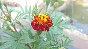 Λουλούδι της Νίκαιας Στοκ Φωτογραφία