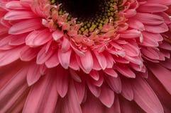 Λουλούδι της συλλογής μαργαριτών gerber Στοκ Εικόνα