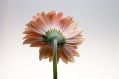 Λουλούδι της συλλογής μαργαριτών gerber Στοκ φωτογραφίες με δικαίωμα ελεύθερης χρήσης
