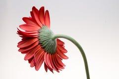 Λουλούδι της συλλογής μαργαριτών gerber Στοκ Εικόνες