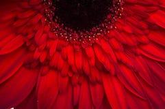 Λουλούδι της συλλογής μαργαριτών gerber Στοκ φωτογραφία με δικαίωμα ελεύθερης χρήσης