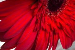 Λουλούδι της συλλογής μαργαριτών gerber Στοκ Φωτογραφίες