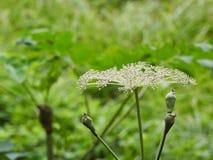 Λουλούδι της Angelica Στοκ εικόνα με δικαίωμα ελεύθερης χρήσης