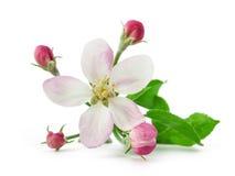 Λουλούδι της Apple με τους οφθαλμούς Στοκ Εικόνες