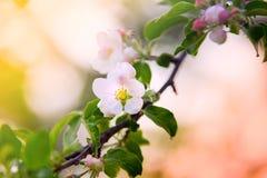 Λουλούδι της Apple στον κλάδο στο ηλιόλουστο υπόβαθρο άνοιξη Στοκ φωτογραφία με δικαίωμα ελεύθερης χρήσης