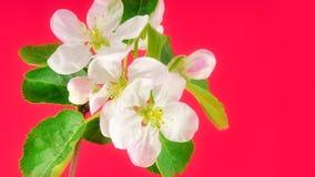 Λουλούδι της Apple στο ροζ απόθεμα βίντεο