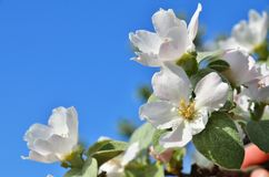 Λουλούδι της Apple στο υπόβαθρο ενός ουρανού Στοκ Εικόνα