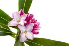 Λουλούδι της Daphne που απομονώνεται στο λευκό Στοκ Εικόνες