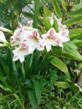 Λουλούδι της Lilly στοκ φωτογραφία