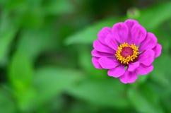 Λουλούδι της Zinnia σε Shalimar Bagh στοκ εικόνες