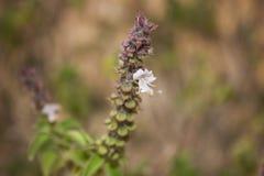 Λουλούδι του βασιλικού Στοκ Εικόνες