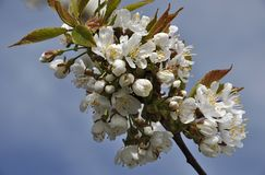 Λουλούδι του δέντρου κερασιών στοκ φωτογραφία με δικαίωμα ελεύθερης χρήσης