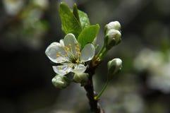 Λουλούδι του δέντρου κερασιών στοκ εικόνες