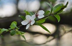 Λουλούδι του δέντρου κερασιών στοκ εικόνα με δικαίωμα ελεύθερης χρήσης