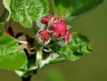 Λουλούδι του δέντρου μηλιάς στοκ εικόνα