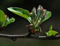 Λουλούδι του δέντρου μηλιάς στοκ εικόνες