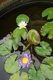 Λουλούδι του λωτού Στοκ φωτογραφίες με δικαίωμα ελεύθερης χρήσης
