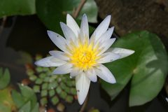 Λουλούδι του λωτού Στοκ Φωτογραφίες