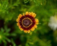 Λουλούδι του νησιού του Miguel Σάο στις Αζόρες στοκ φωτογραφίες