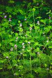 Λουλούδι του ντροπαλού νυσταλέου πλανήτη στοκ φωτογραφία