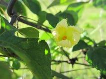 Λουλούδι του cajetan ` s πεπονιού Αγίου Στοκ εικόνες με δικαίωμα ελεύθερης χρήσης