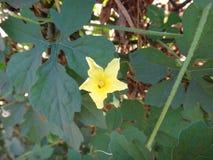 Λουλούδι του cajetan ` s πεπονιού Αγίου Στοκ φωτογραφία με δικαίωμα ελεύθερης χρήσης