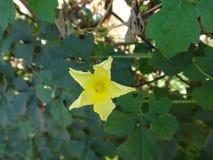 Λουλούδι του cajetan ` s πεπονιού Αγίου Στοκ Εικόνες